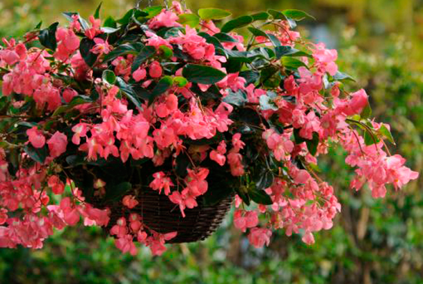 Begonia colgante
