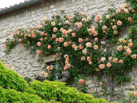 Encantador rosal trepador