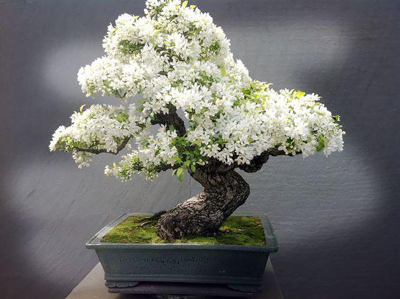 Árbol floreado Bonsai.